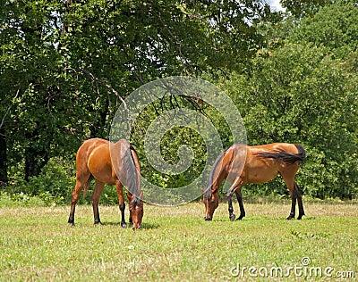 Two beautiful shiny bay Arabian horses grazing