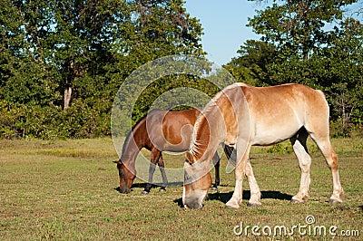 Two beautiful, shiny horses grazing