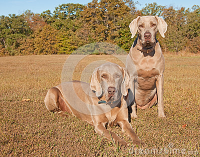 Two beautiful Weimaraner dogs