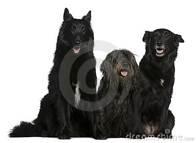 Two Belgian Shepherd Dogs And A Mixed-breed Dog Stock Images - Image ...