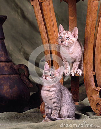 Two bengal kittens