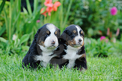 Two Bernese Mountain Dog portrait