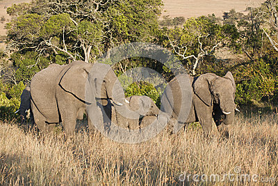 Elephant Babies between big Elephants