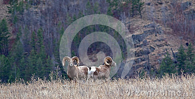 Two Big Horn Rams