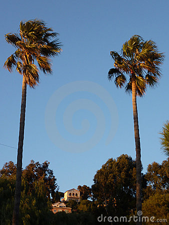 Two big palm trees by sunset