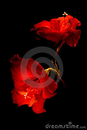 Two big red flowers isolated on black
