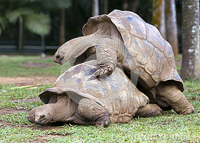 Two big seychelles turtles sympathizing each other for Tartarughe grandi