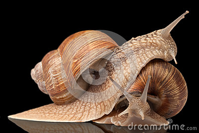 Two big snails posing Stock Photo
