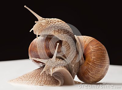 Two big snails Stock Photo