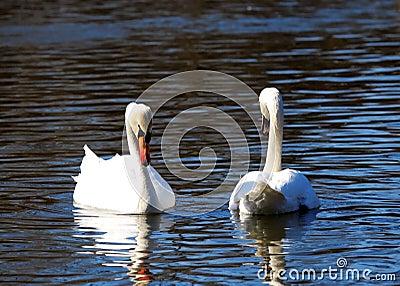 Two big white swans