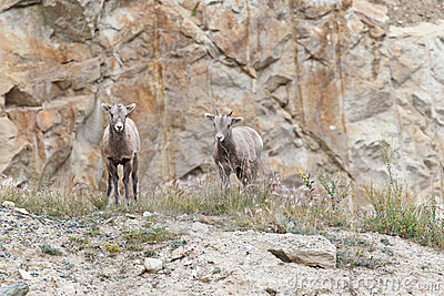 Two bighorn sheeps, ovis canadensis