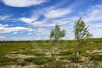 Two birch in tundra