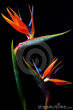 Two Bird of paradise