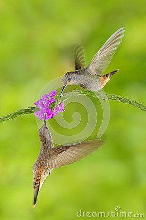 Free Two Bird With Pink Flower. Hummingbird Brown Violet-ear, Colibri Delphinae, Bird Flying Next To Beautiful Violet Bloom, Nice Flowe Royalty Free Stock Images - 84814309