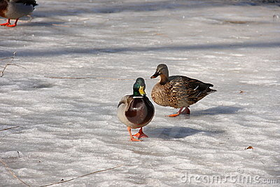 Two-birds-walking-on ice