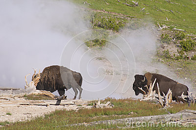 Two Bisons near a spewing geyser.