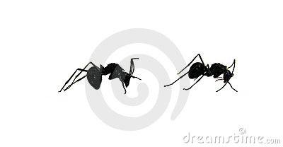 Two black ants