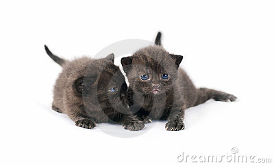 Two black british kittens