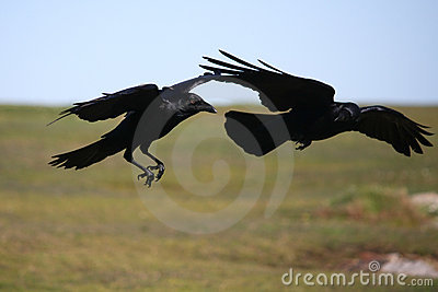Two black crows in flight.