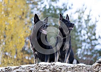 Two black German shepherds