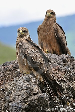 Free Two Black Kite. Stock Images - 16677954