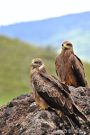 Free Two Black Kites. Stock Image - 18366871