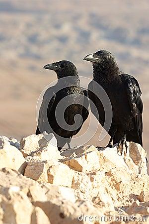 Two black ravens