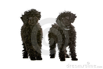 two black toy poodle puppies