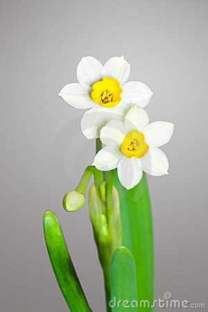 Free Two Blossoming Daffodils Stock Photo - 12917430