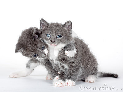 Two blue eyed gray kitten isolated