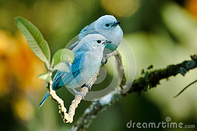Two Blue-Gray Tanagers