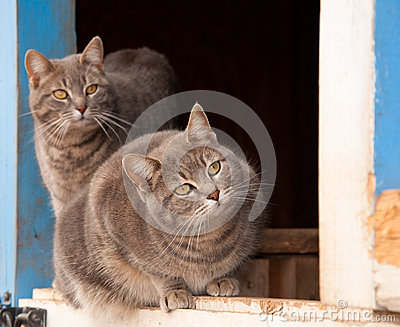 Two blue tabby cats on a half door