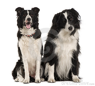 Free Two Border Collie, 9 Years Old, Sitting Stock Photography - 15358032