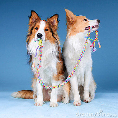 Free Two Border Collies And Toy Stock Photography - 23785032