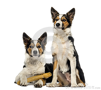 Free Two Border Collies, One Is Lying With A Bone Stock Photo - 39254840