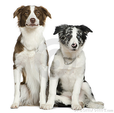 Free Two Border Collies, Sitting Royalty Free Stock Images - 15359819