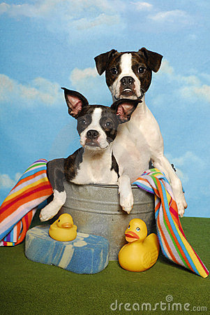 Two Boston Terriers in a Bath Tub