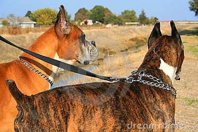 Two boxer dogs outdoors in a park.