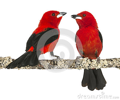 Two Brazilian Tanager perched on a branch