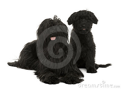 Two Briard dogs, 2 years old and 13 weeks old