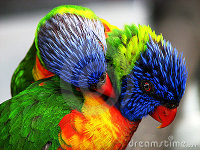 Two bright colored birds