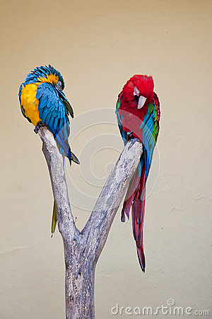 Free Two Brightly Coloured Amazon Parrots Stock Images - 38186314