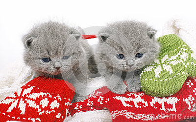Two British kitten with mittens