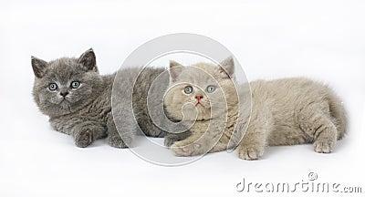 Two British kittens