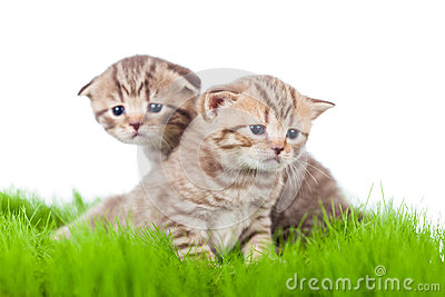 Two british kittens on grass