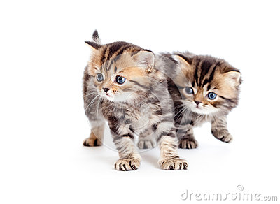 Two british kittens on white