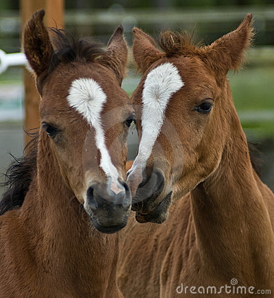 Two brown baby foals