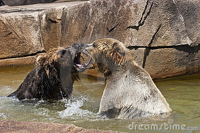 Two Brown Bear Play Fighting in Water