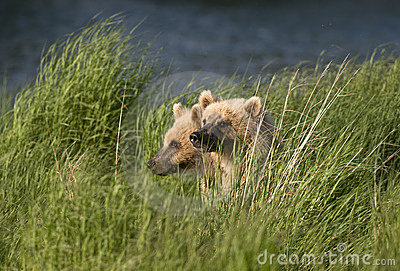 Two Brown Bears sitting in grass