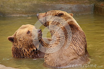 Two brown bears in water